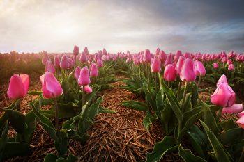 Nekonečná pole rozkvetlých tulipánů nedaleko města Alkmaar, Severní Holandsko, Nizozemsko.