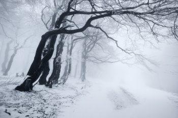 Zimní varianta větrem ohnutých buků na okraji lesa v Kruškách