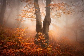 Rozdvojený buk v atmosféře podzimních Krušných hor