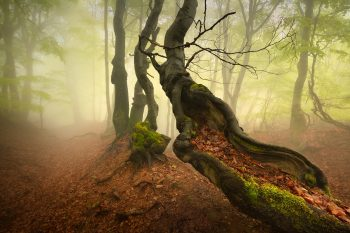 Starý křivý buk na hřebenech Krušných hor po jarním dešti
