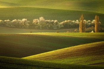 Dva vzrostlé topoly ve zvlněné krajině Slovácka, nebo také Moravského Toskánska připomínají dva strážce