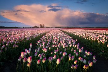 Rokvetlá tulipánová pole nedaleko Alkmaaru, Severní Holandsko, Nizozemsko.