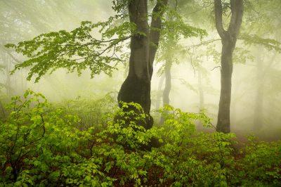 Čerstvá jarní zeleň v mlhavém bukovém lesu v Krušných horách jako zajímavý fotografický obraz