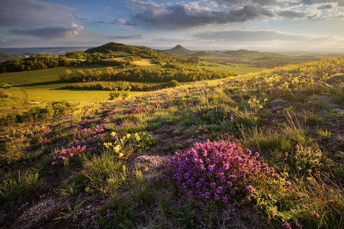 Krásně voňavé trsy rozkvetlé mateřídoušky v malebné jarní krajině Českého středohoří s výhledem z Číčova na Milou při fotografickém odpoledním kurzu