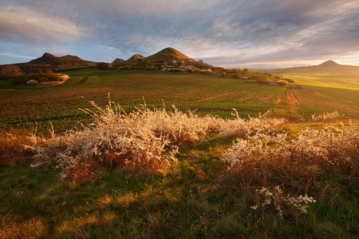 Rozkvetlé trnky při jarním západu slunce ve Středohoří