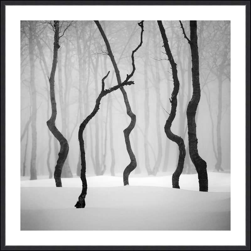 Tucet nejžádanějsích motivů pro fotografické obrazy do každého interiéru, bytu domu nebo kanceláře - černobílý minimalistický fotoobraz Tančící stromy ze zasněžených Krušných hor v luxusním matném hliníkovém černém rámu s bílou paspartou.