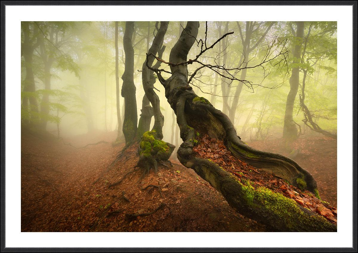 Tucet nejžádanějších motivů pro fotografické obrazy - fotografické obrazy do kanceláře - fotoobraz Starý a pokřivený buk v jarní mlze je z bukového lesa na hřebenu Krušných hor a vnikl během jarního mlhavého dne. Svěží zelené tóny obrazu se skvěle hodí do moderního interiéru.