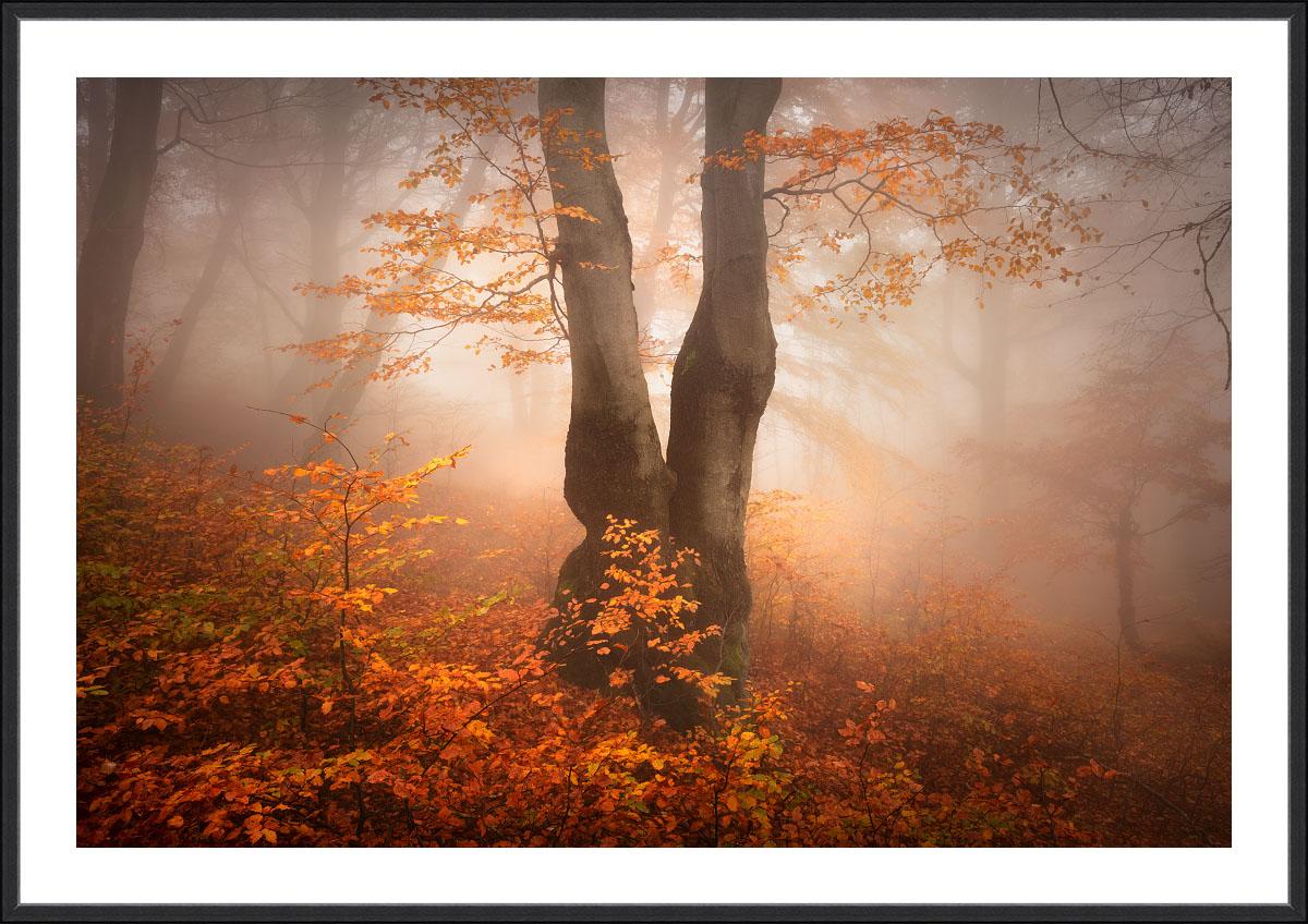 Tucet nejžádanějších motivů pro fotografické obrazy - fotografický obraz do interiéru - fotoobraz Podzimní bukový les Krušných hor v černém rámu a bílou paspartou.