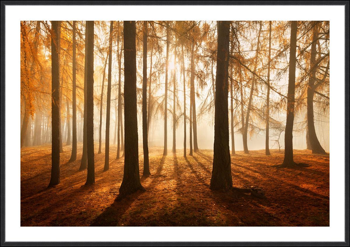 Fotoobraz Podzim v modřínovém háji z mlhavých Krušných hor.