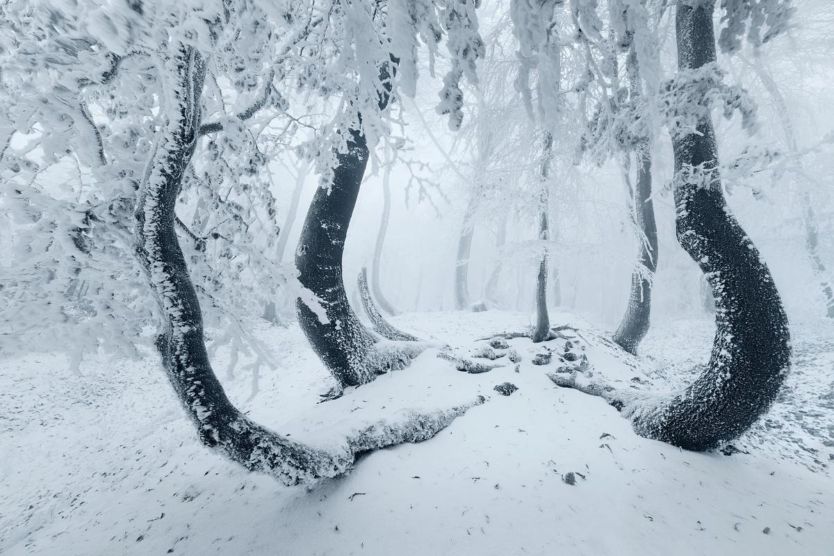 Proměny lesa u krušnohorské chobotnice - fotky s příběhem - zimní pohled na skupinu pokroucených buků v mlhavých Krušných horách