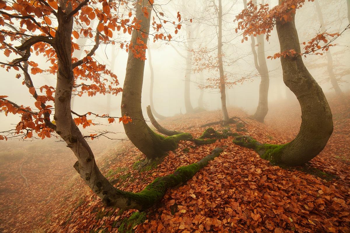 Proměny lesa u krušnohorské chobotnice - fotky s příběhem - podzimní pohled na skupinu pokroucených buků v mlhavých Krušných horách