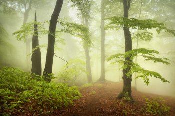 Mlhava atmosféra v jarním bukovém lesu v Krušných horách