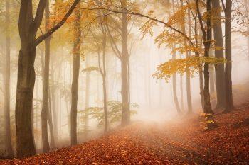 Lesní cesta v mlhavém podzimním bukovém lesu na úpatí Krušných hor