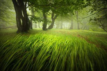 Jarní svěží tráva vlající v silném větru, který bičoval pokroucené buky v Krušných horách