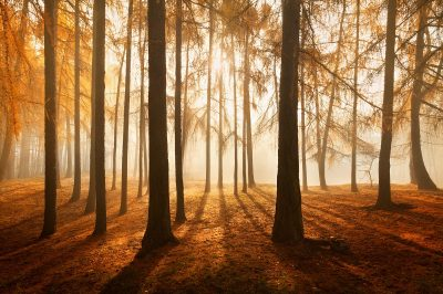 Žluto oranžové podzimní tóny modřínového lesa v malebných Krušných horách