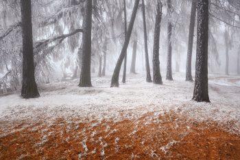 První sníh v Labských pískovcích vykouzlil zajímavý pohled na modřínový les. Stromy jsou silně ojíněné a omrzlé a zem je ještě pokryta opadaným zlatavým jehličím.