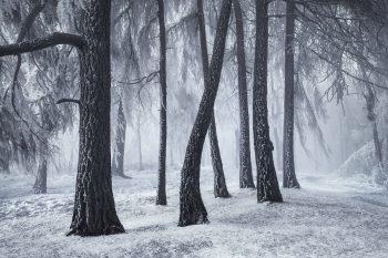 Mlhavá a mrazivá atmosféra v modřínový háji v srdci Labských pískovců.