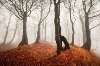 Fotografický obraz s motivem mlhavého lesa s pokroucenými buky