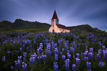 Islandský kostel Víkurkirkja s rozkvetlími květy fialových lupin v oblasti Vík na jižním pobřeží Islandu jako ideální motiv pro netradiční fotoobraz